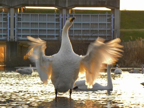12-1-9白鳥4.jpg