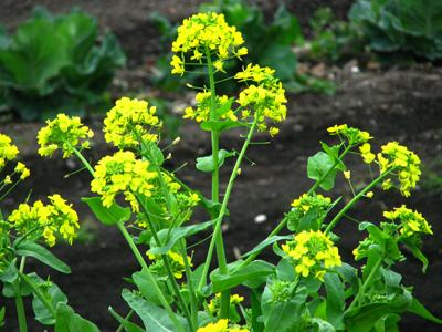 2008菜の花1.jpg